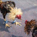Judi Sabung Ayam Online Menarik