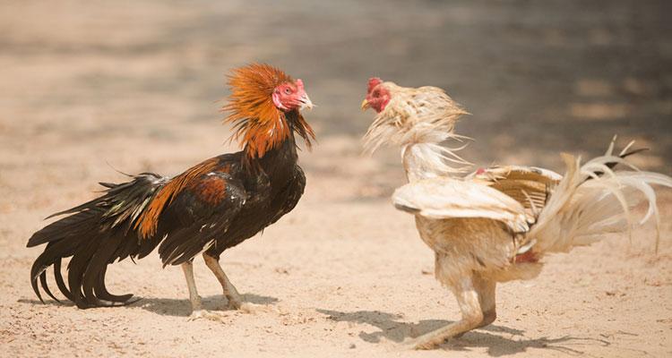 s1288 Ayam Bertarung