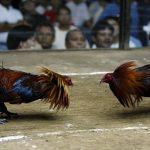 Informasi Dasar Dan Penting Tentang Judi Sabung Ayam Online