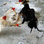 Tips Mengisi Formulir Pendaftaran Sabung Ayam SV388